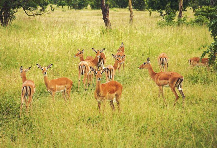 antelopes-herd