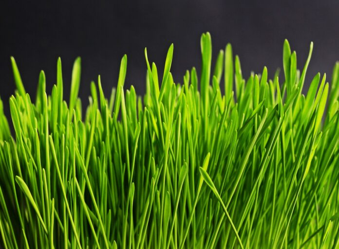 small growing grass